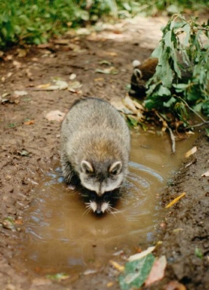raccoon blog pic.jpg