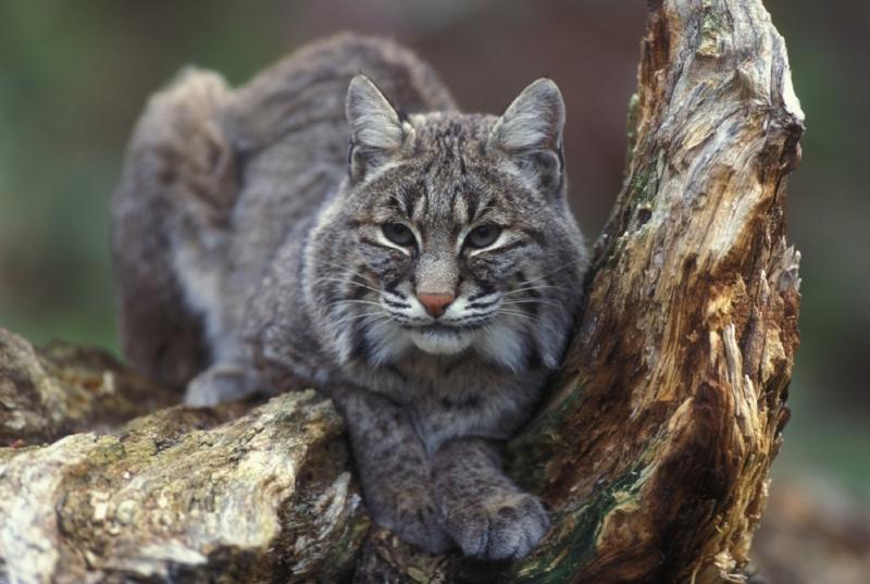 bobcat photo.jpg