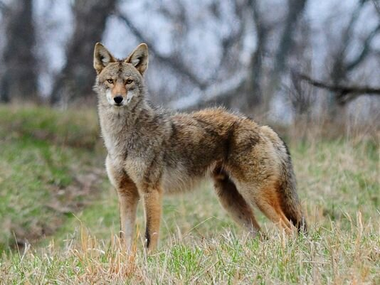 Coyote-photographer unknown.jpg