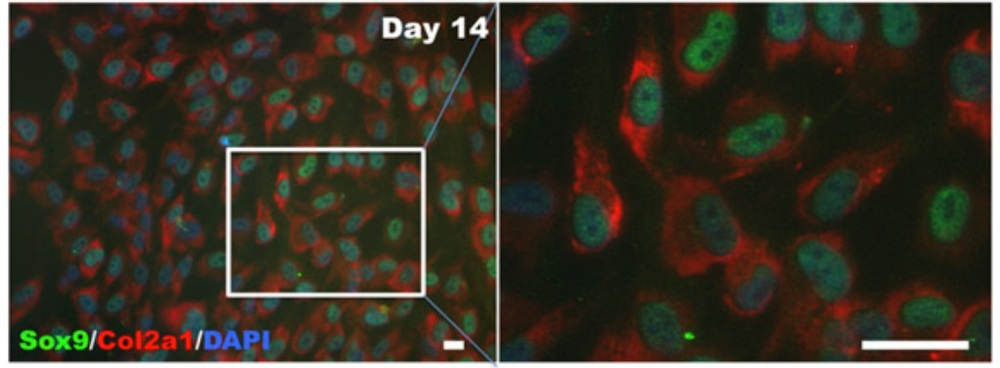 hiPSC-derived chondrocytes express canonical chondrocyte markers such as Sox9 and Col2a1. (Lee 2015)