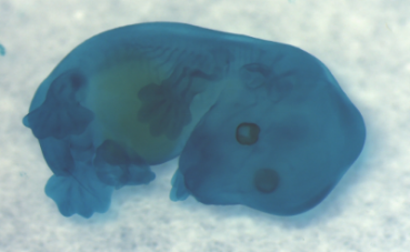 Cartilage makes up the vast portion of the early embryo (stained in blue here) and is responsible for laying the template for early bone development.