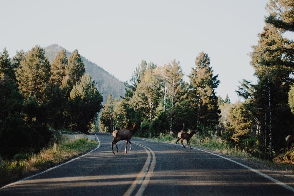 driving through yellowstone - wildlife