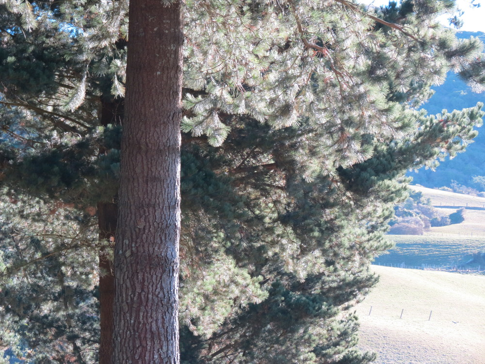 light-through-pine-trees