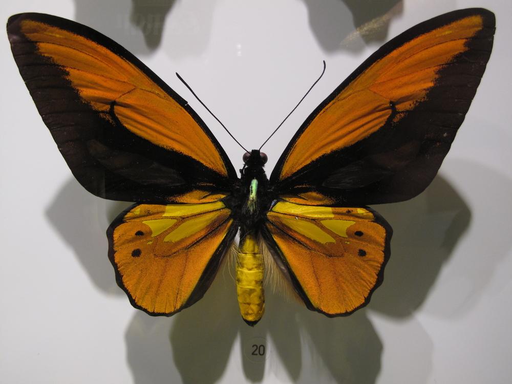 orange butterfly in case