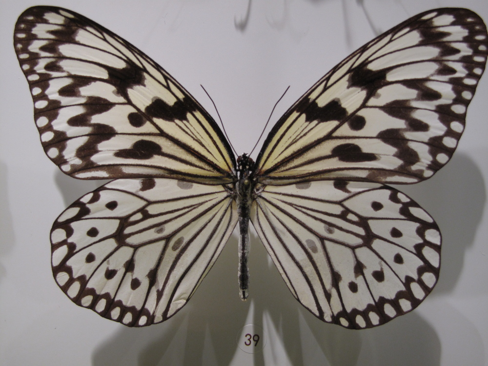 white patterned butterfly in case