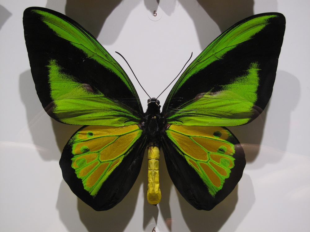 Green and black iridescent butterfly