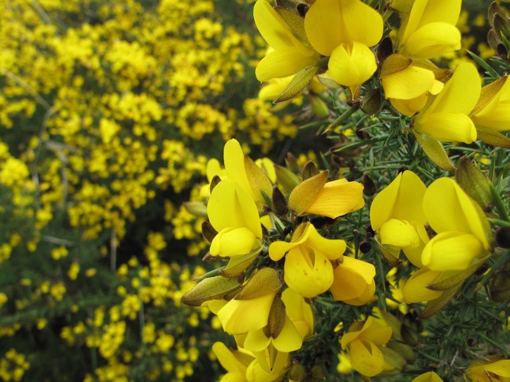gorse bush flowers at nz beach