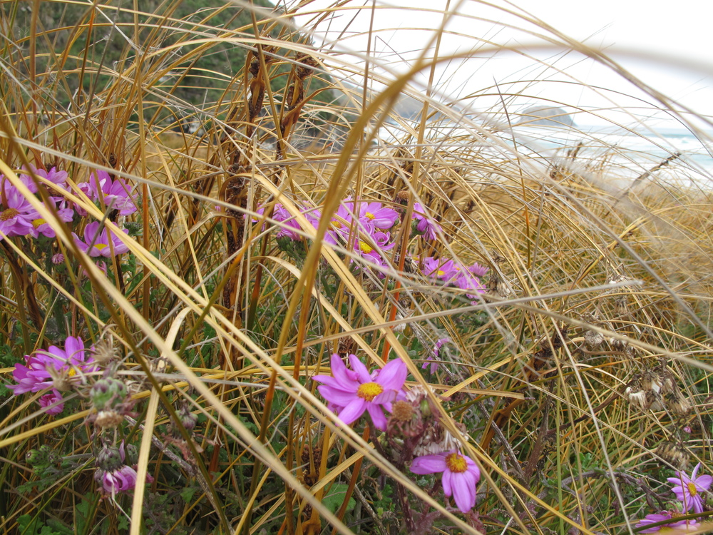 beach tussock grass and purple flowers