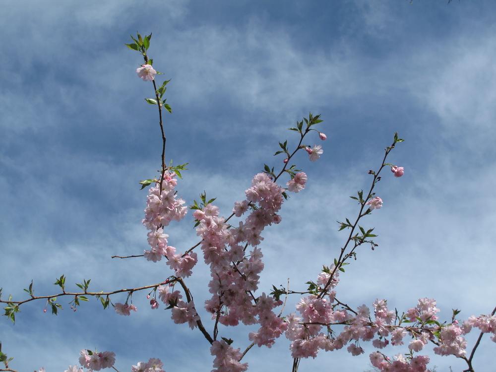 cherry blossom nz