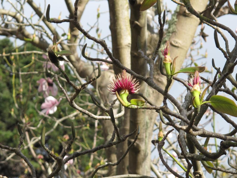 magnolia trees nz