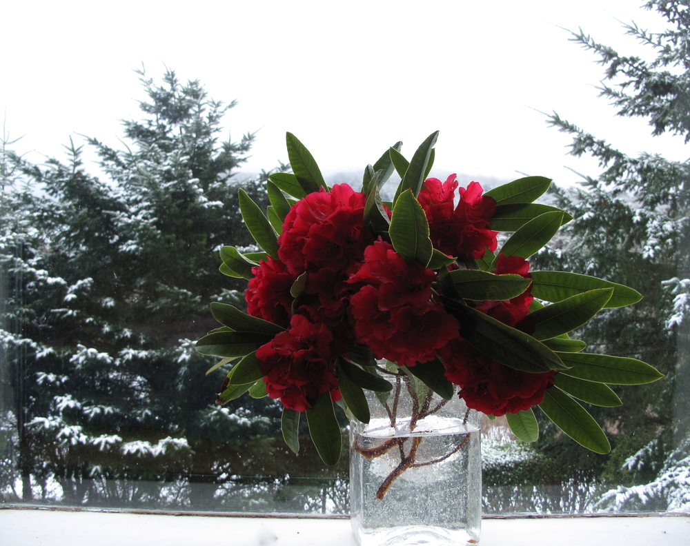 red rhododendrons snow trees