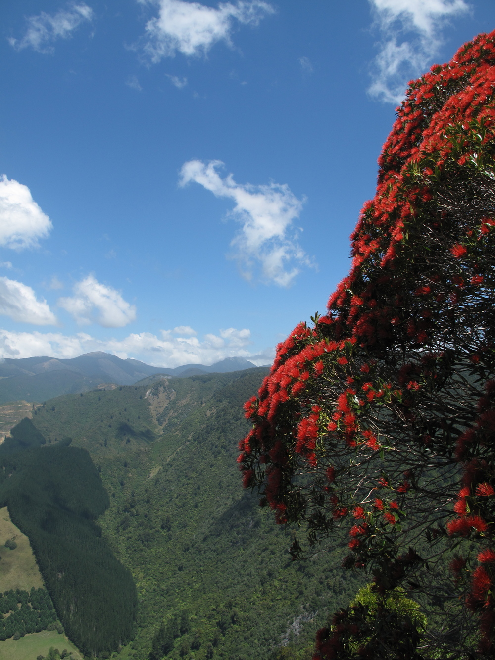 Pohutukawa tree NZ in hills of green