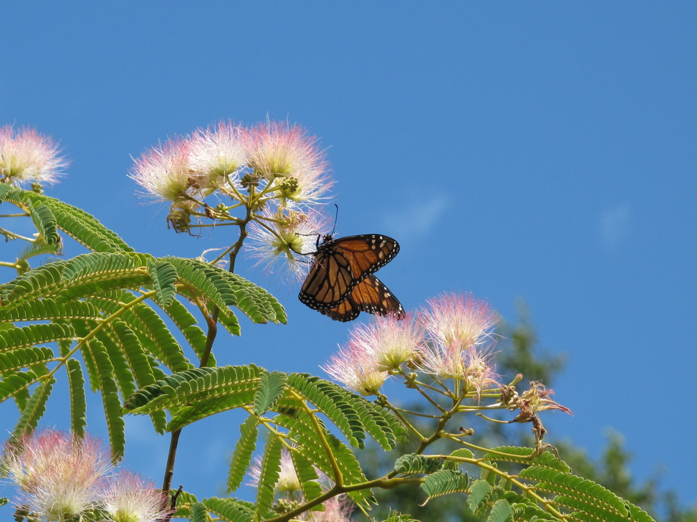 Monarch butterfly on NZ pohutukawa