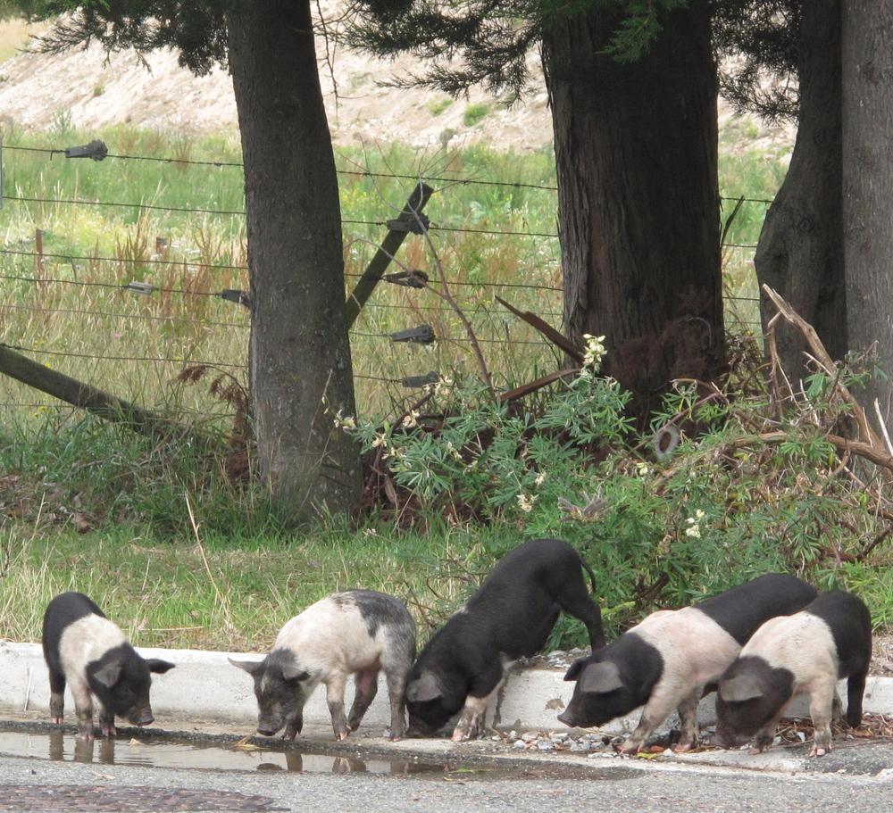Piglets running free in Pohara, NZ