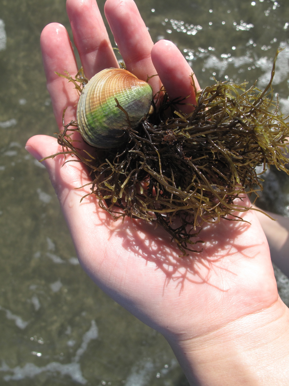 rainbow clam shell with seaweed