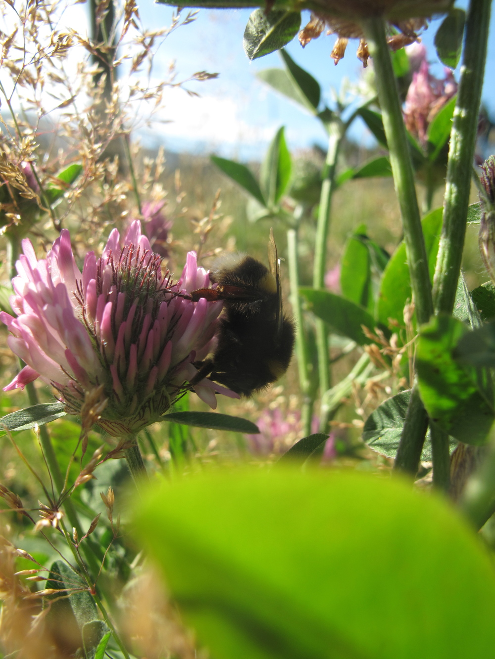 bumblebee in long grasses and clover