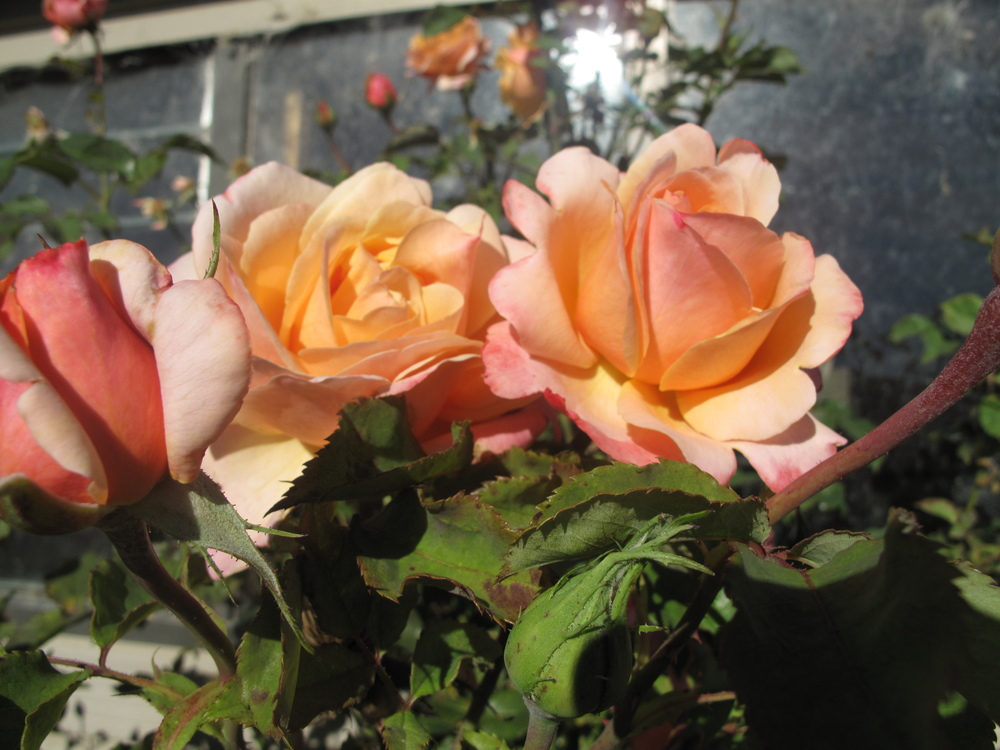 Roses by the shed in kurow