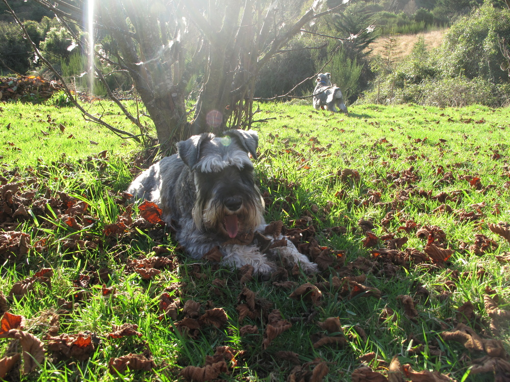 Schnauzer dogs in the hazelnut orchard