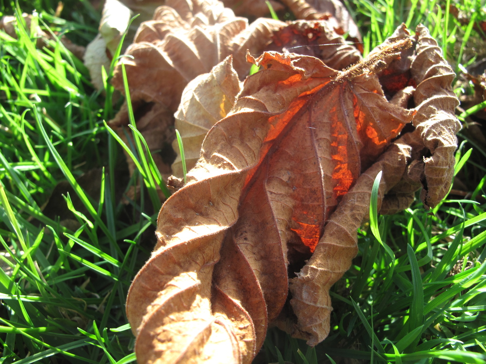 dried hazelnut leaves in autumn