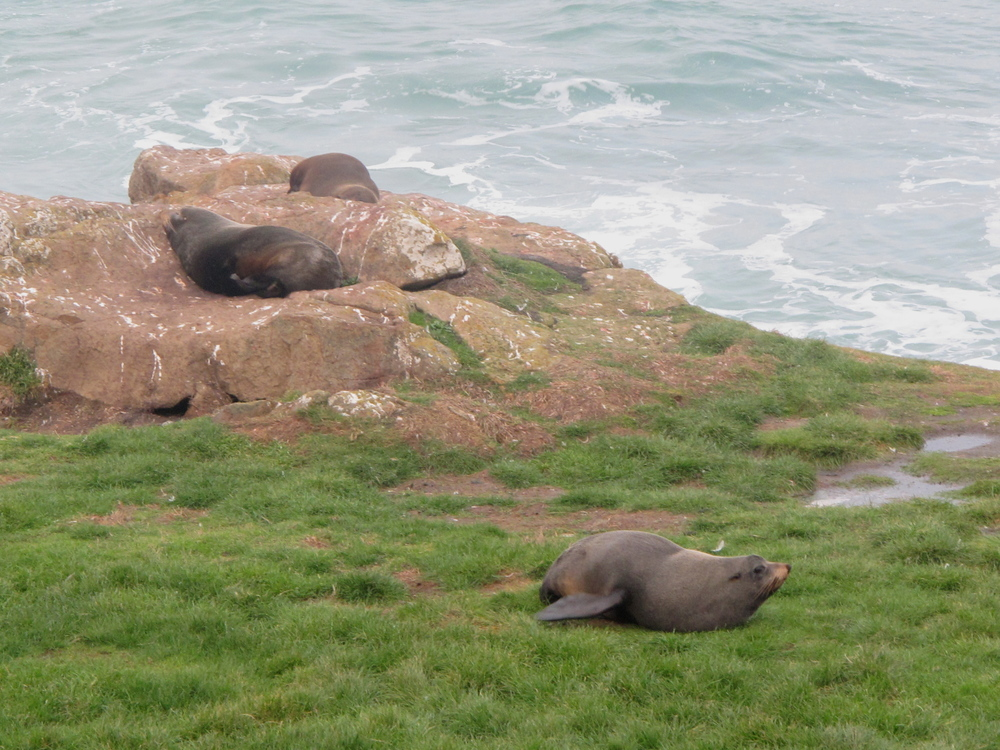 New Zealand fur seals on Otago Peninsula