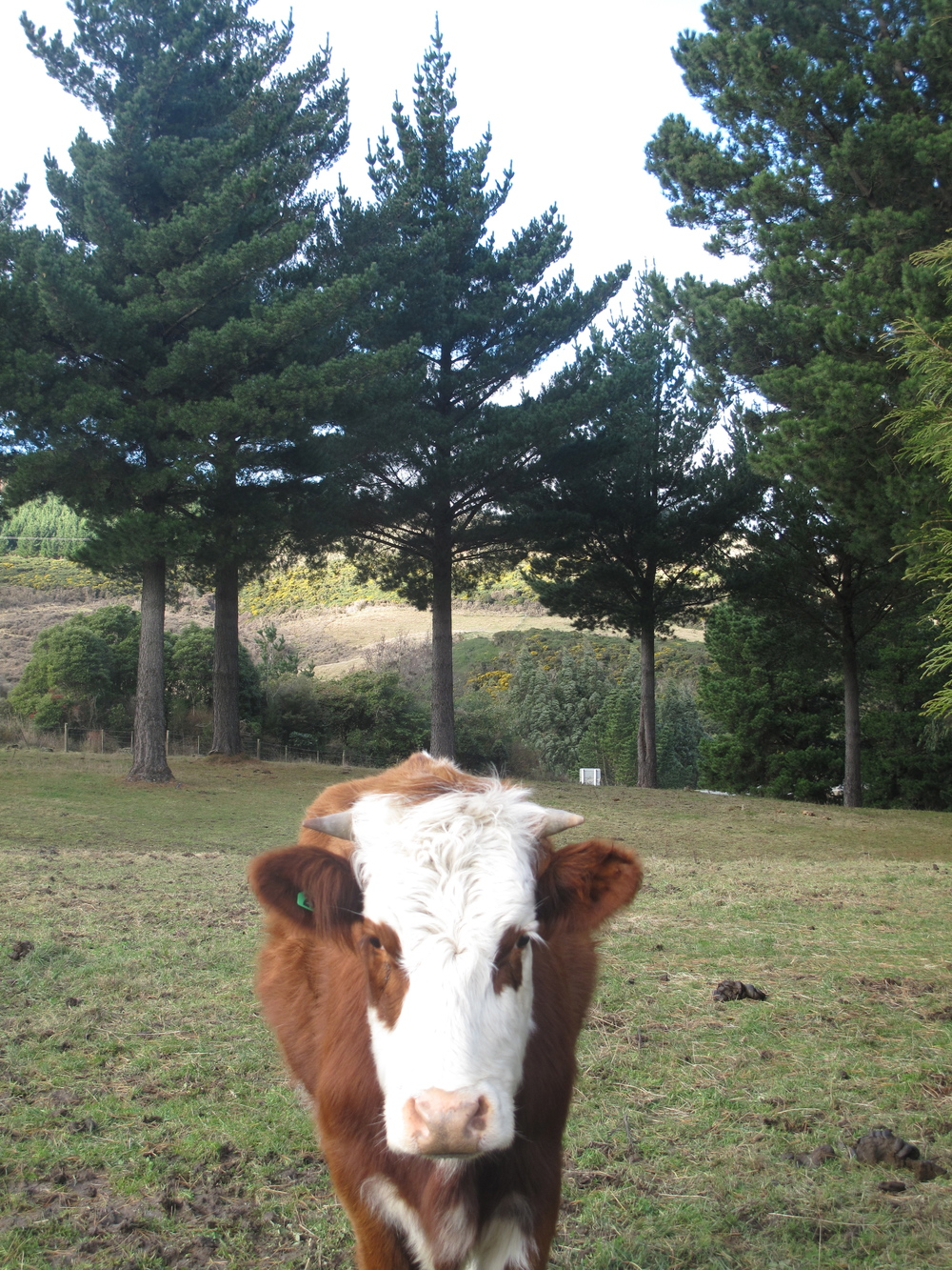 Jersey cow in the paddock at home