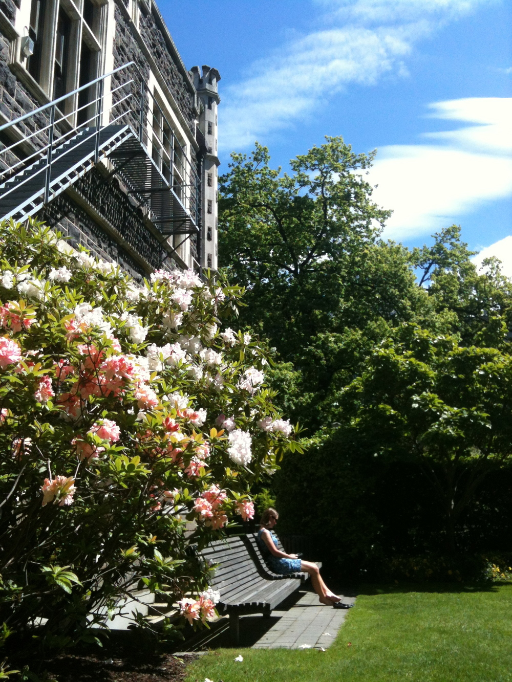 Rhododendrons at Otago University Music Department