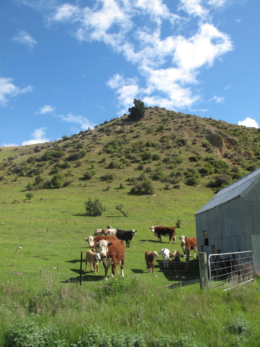 Jersey cows in the green hills of NZ wop wops