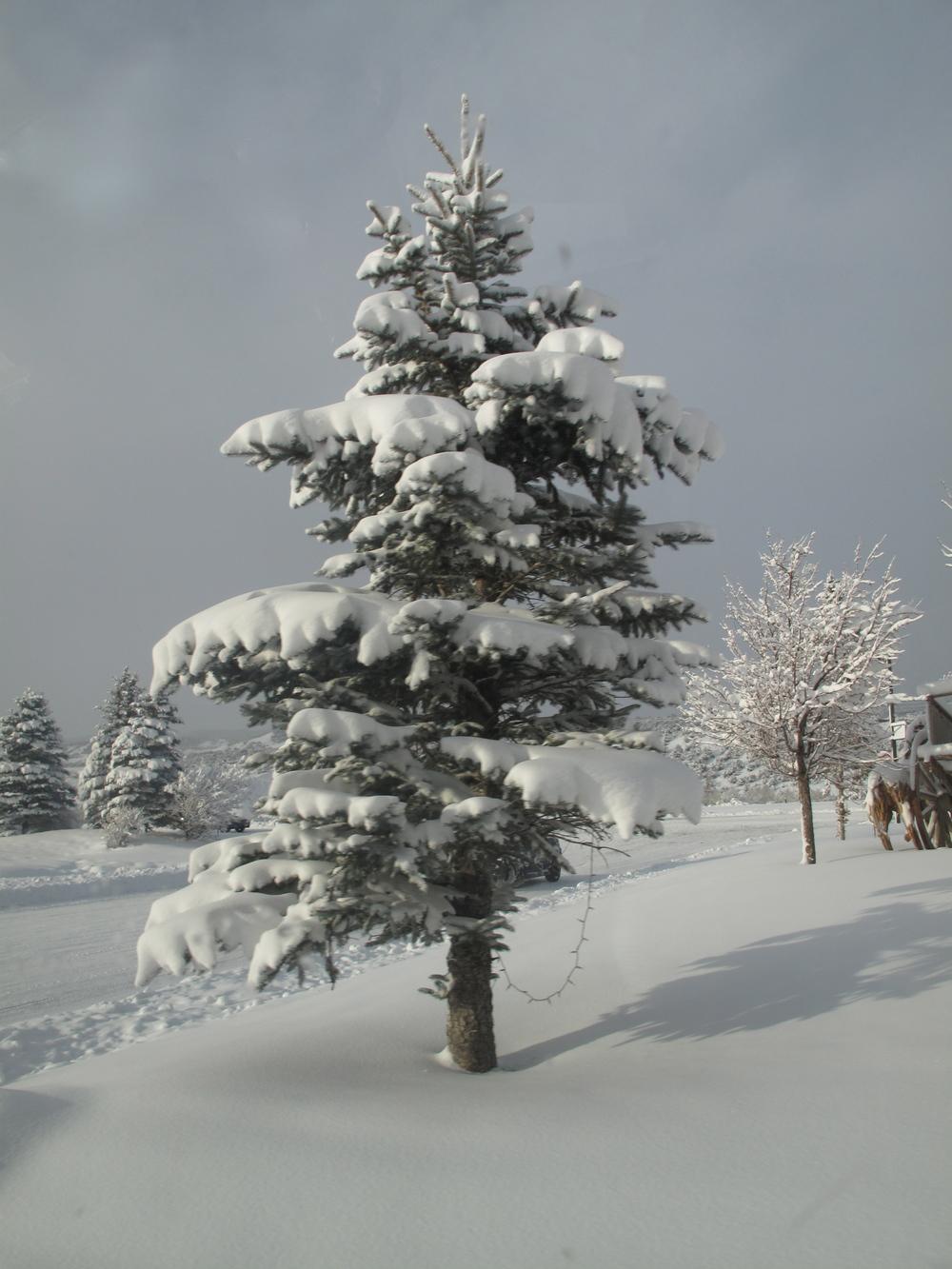 Colorado snow in a pine tree