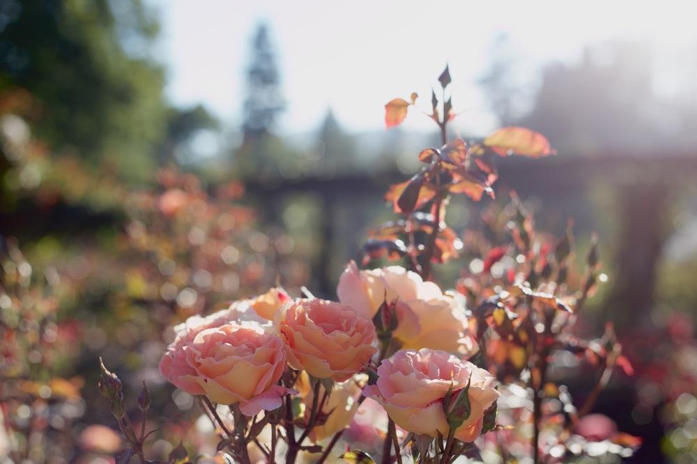 Rose garden peach roses