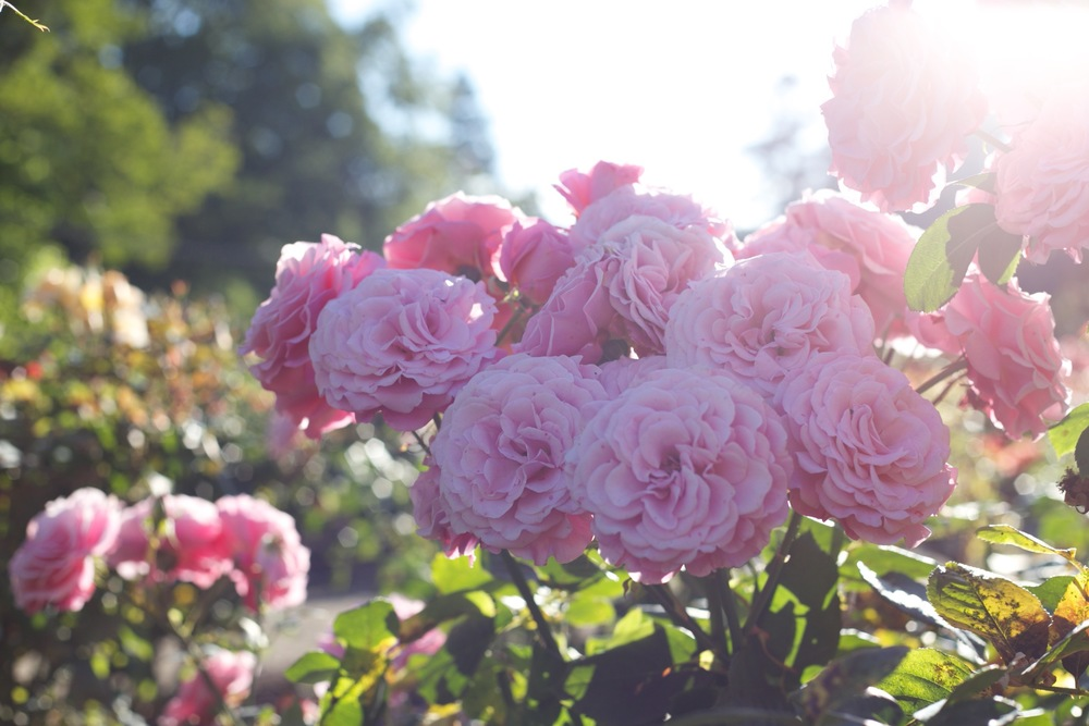 pink full bloom roses in the morning sun