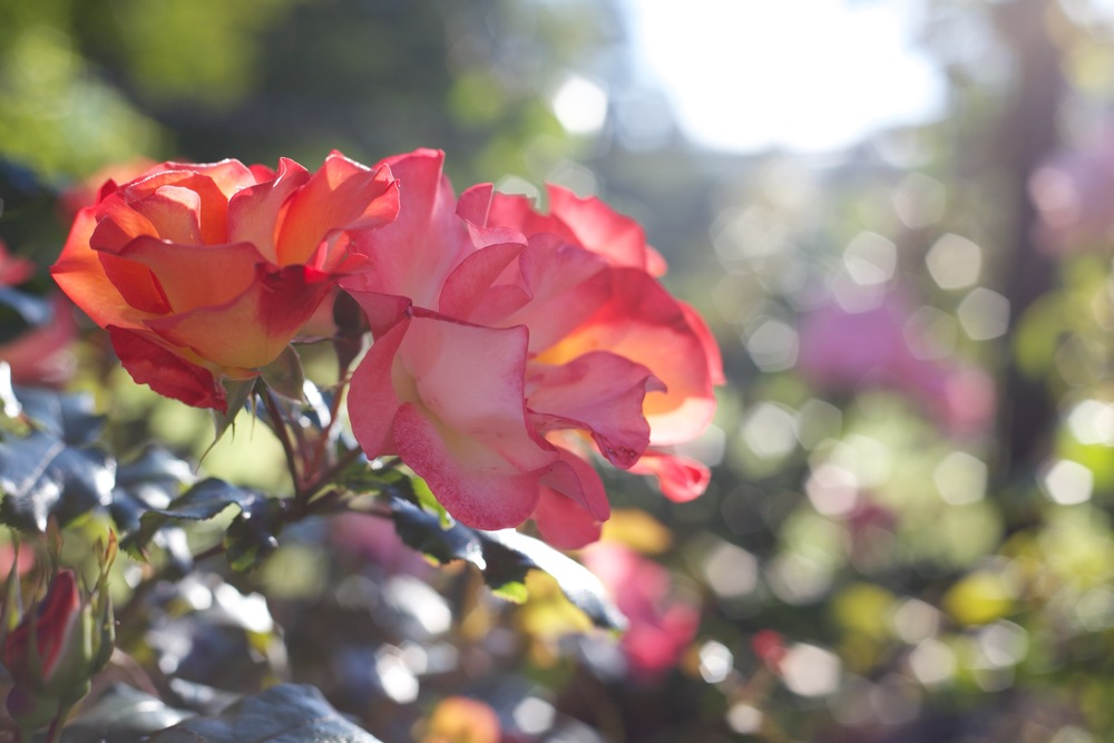 Two toned pink and orange roses in the morning sun