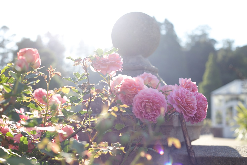 Pink roses along a stone fence in the morning light