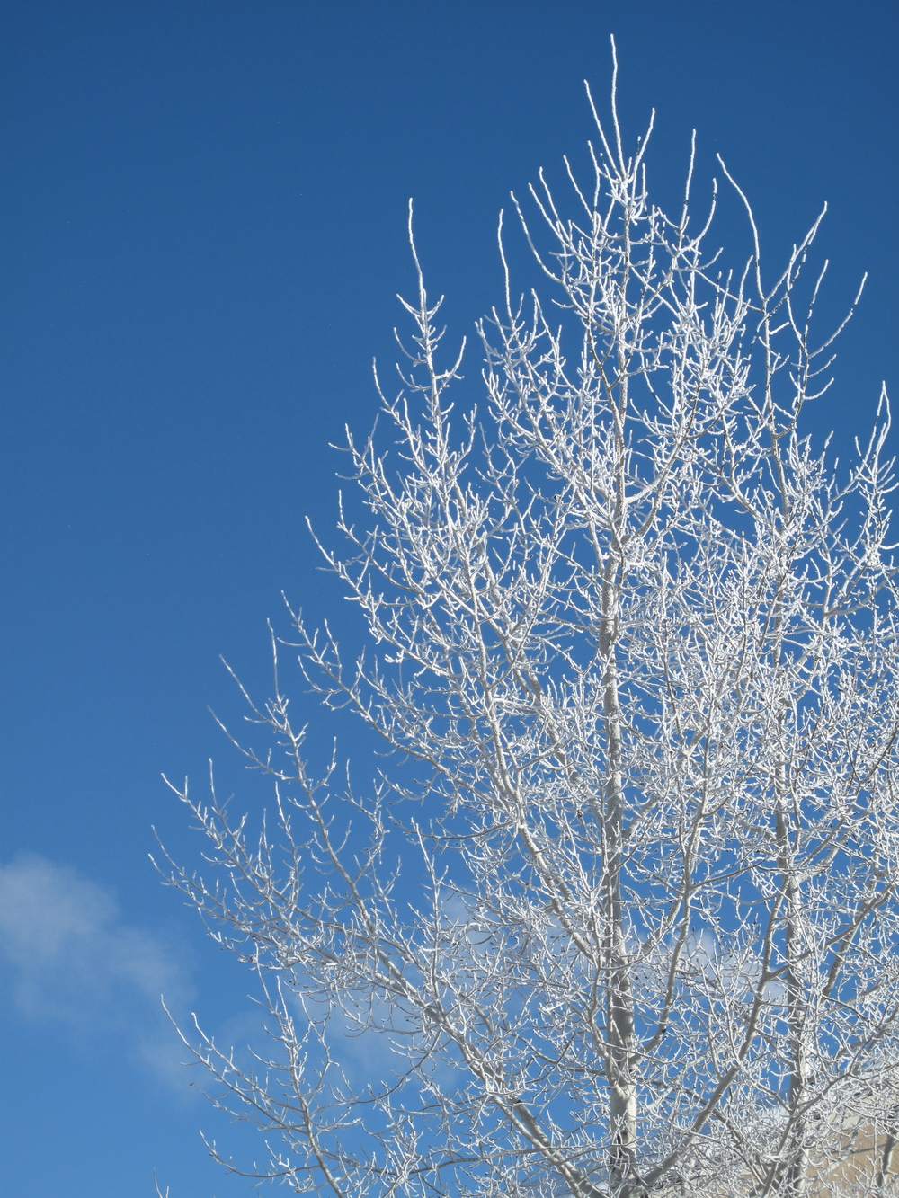 White hoarfrost tree branches in the blue sky and winter sun