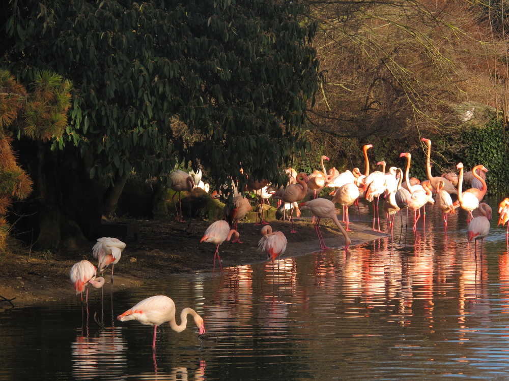 Flamingos in zoo of Parc de la Tête d'Or