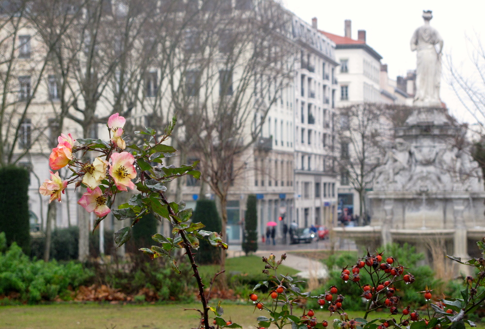 Roses in the rain, Lyon, France