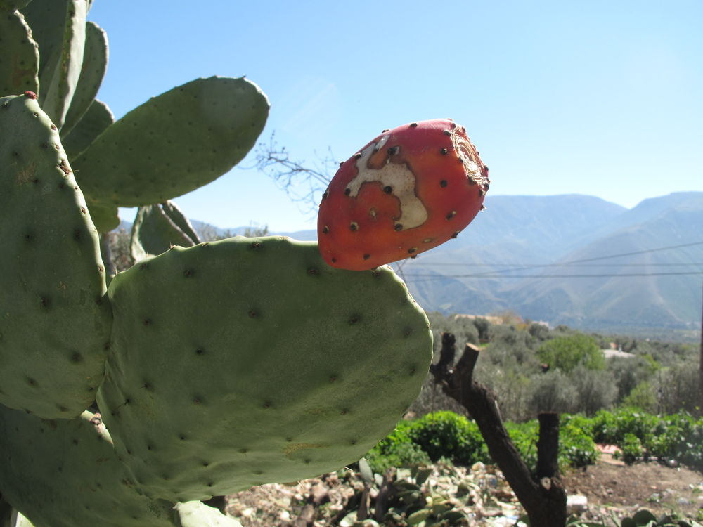 prickly pear on a cactus in the Spanish mountains