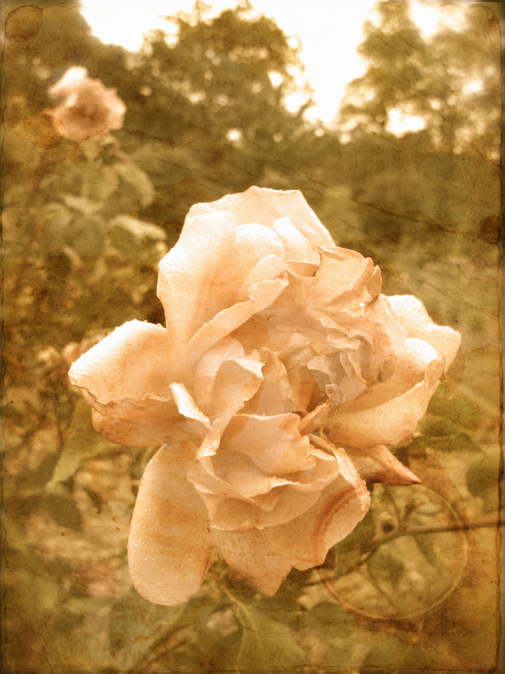Old style Victorian photo of a rose