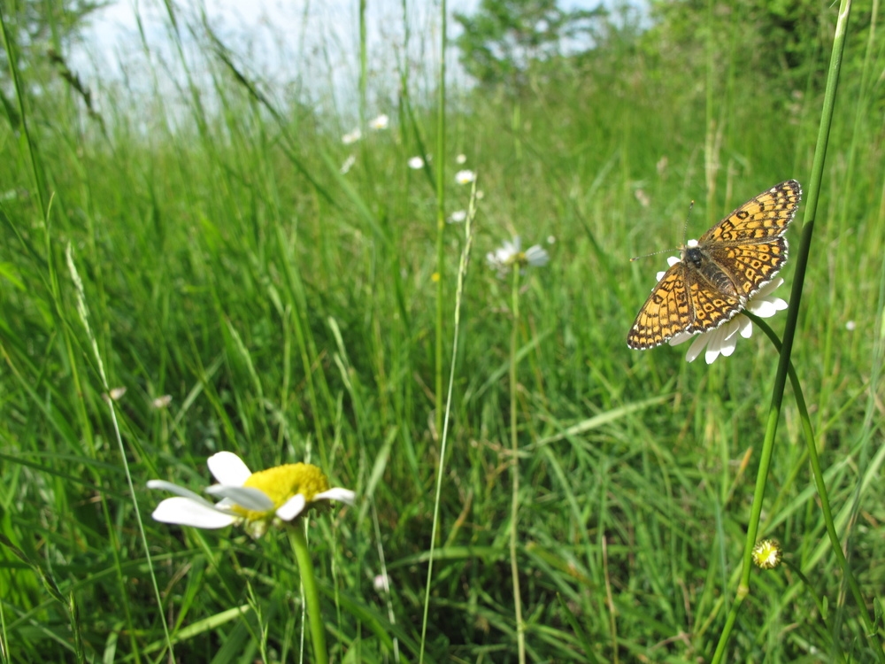 An orange and black spotted butterfly on a daisy in the meadow