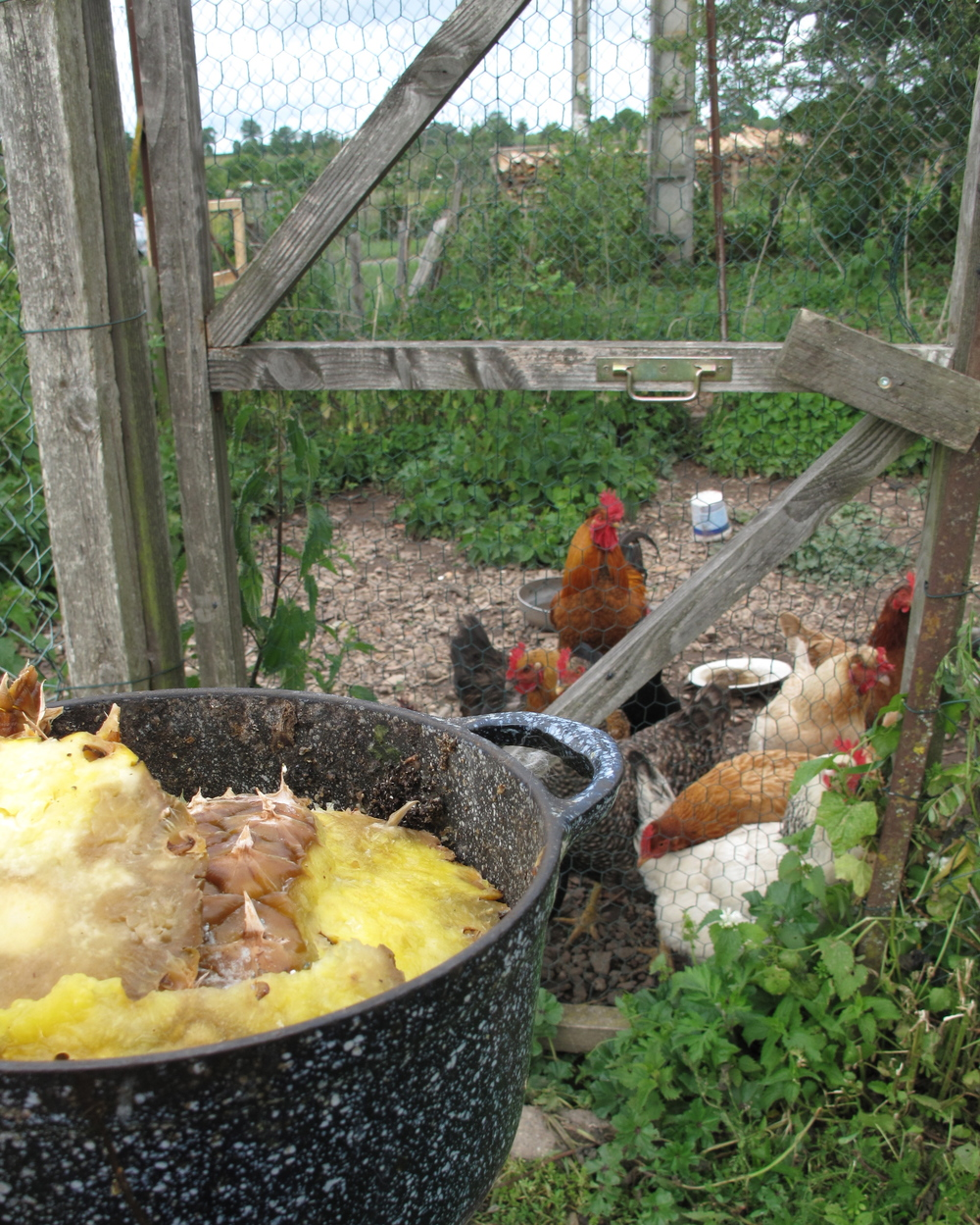 Feeding the hens in the morning with food scraps