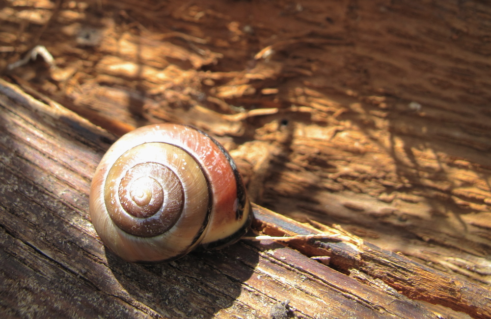 Snails trying to take over the garden - but their shells are beautiful