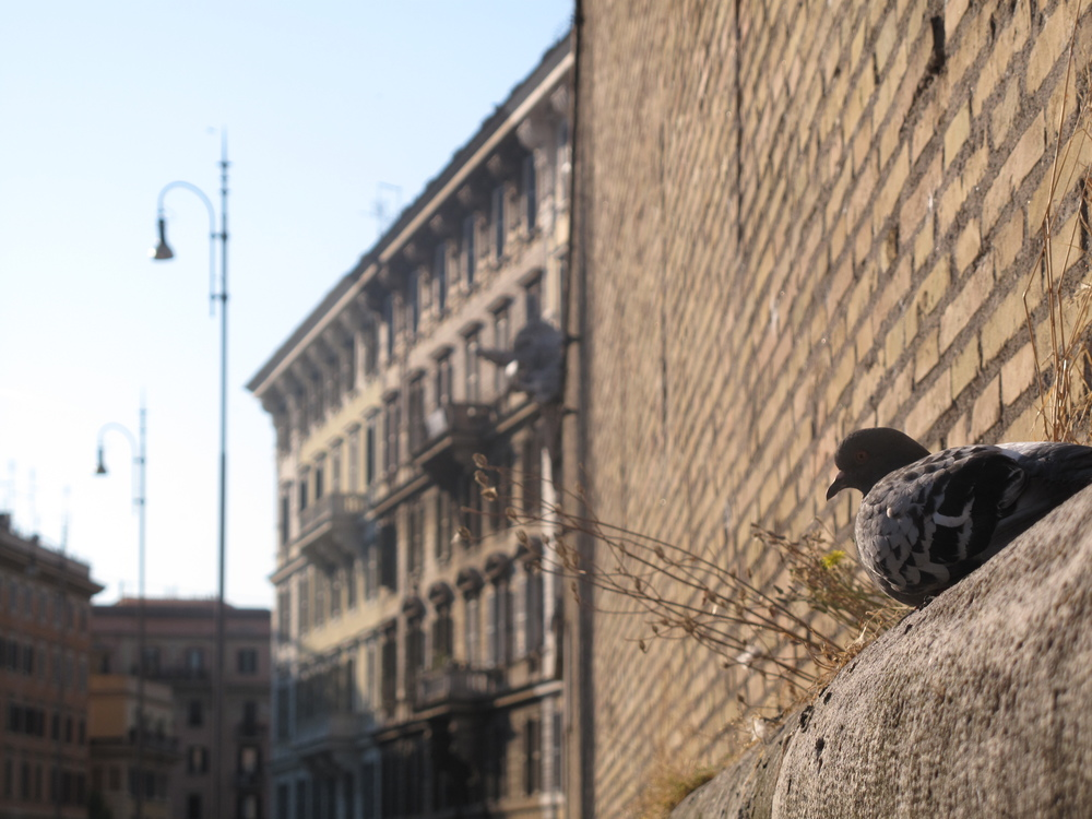 Pigeon near the Vatican walls, Rome
