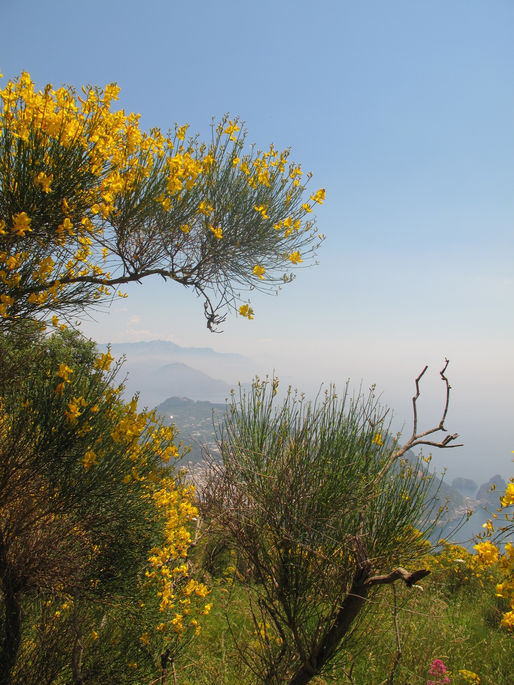 Yellow flowers and the mountains of Capri