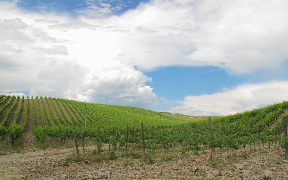 Vineyards of Tuscany - rows and rows of green grapes.