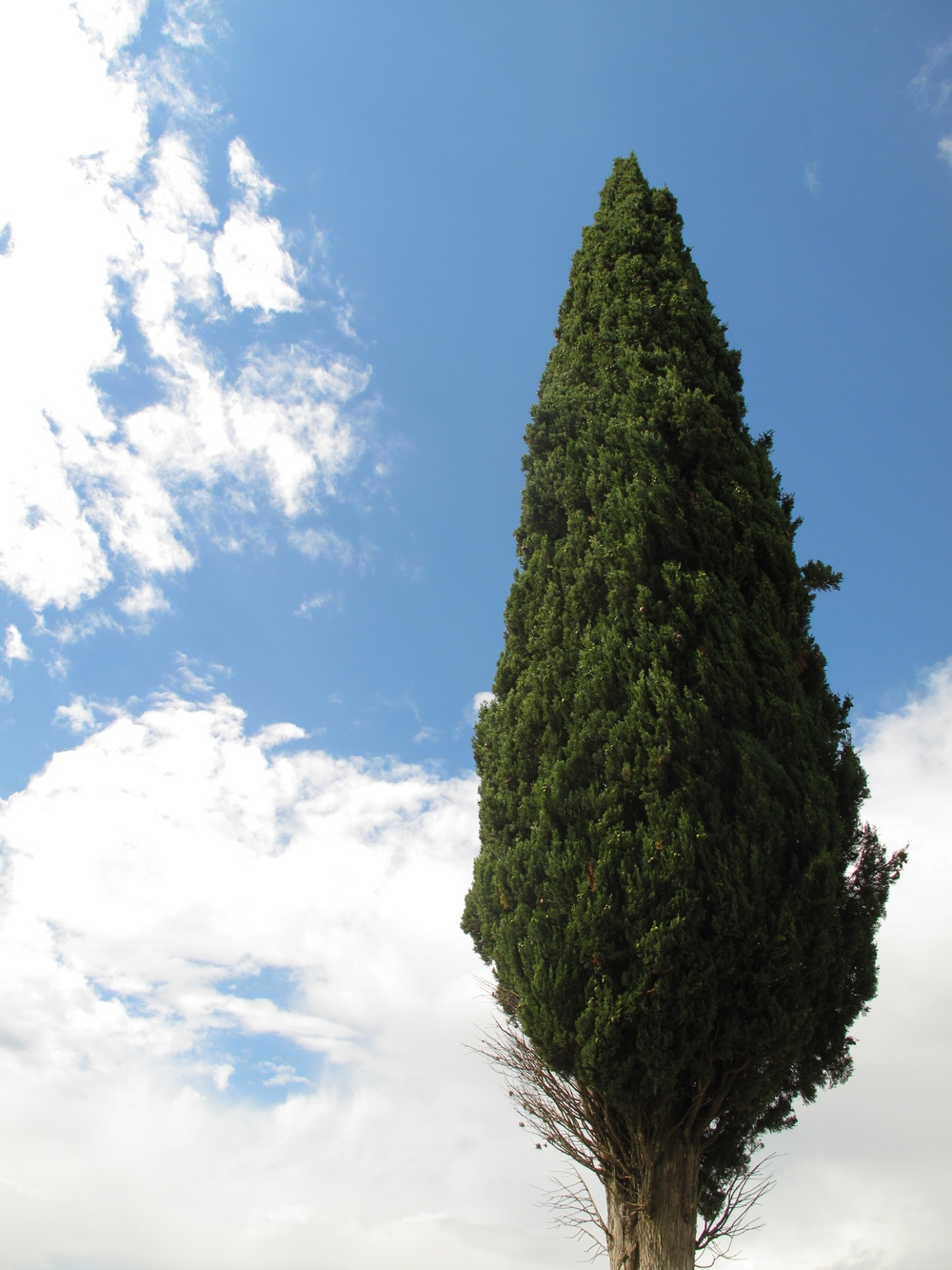 Tall cypress tree against the blue sky in Tuscany