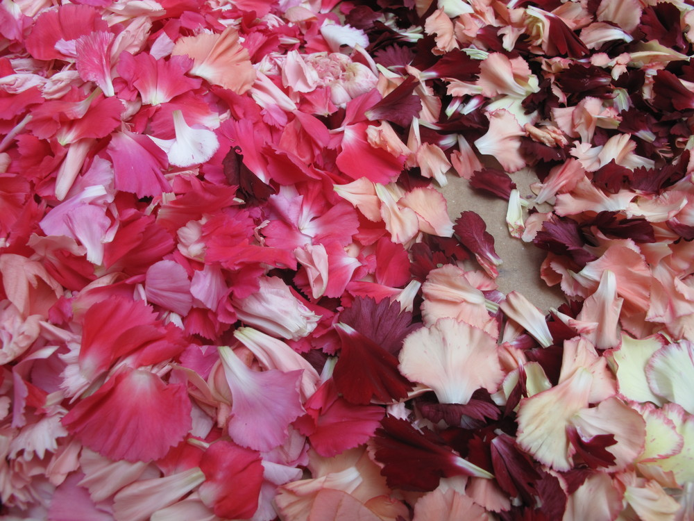 Infiorata pink and red and white flower petals