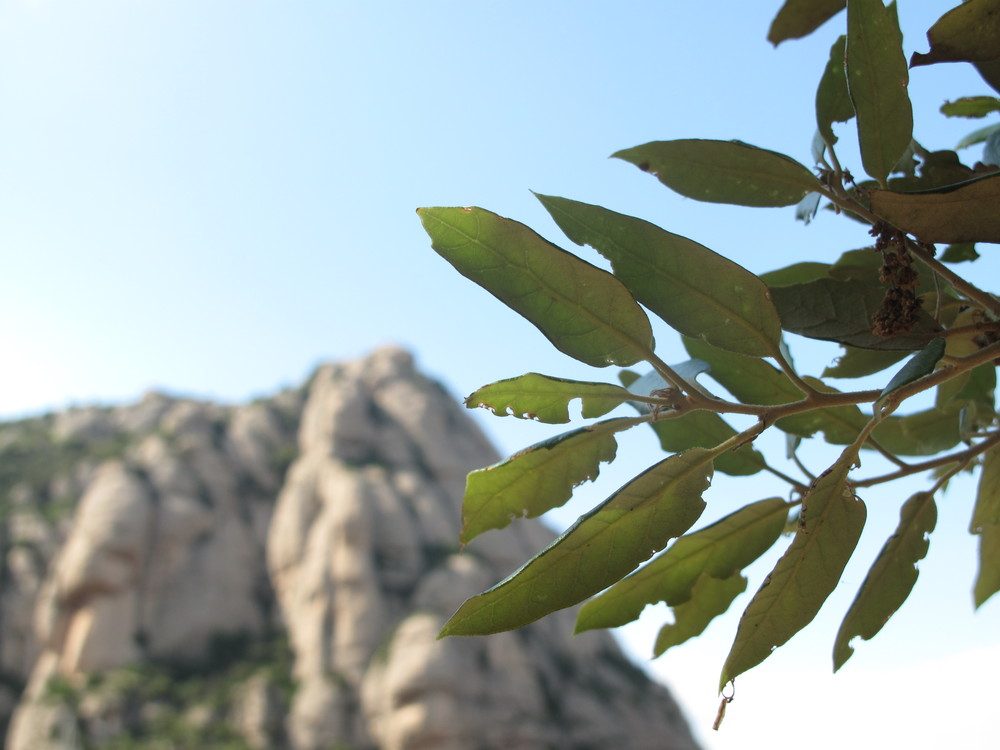 Montserrat mountains and eucalyptus leaves