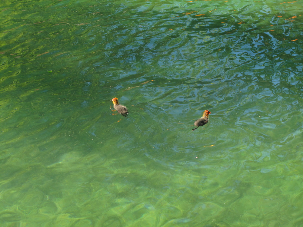 Baby birds swimming in Lake Annecy