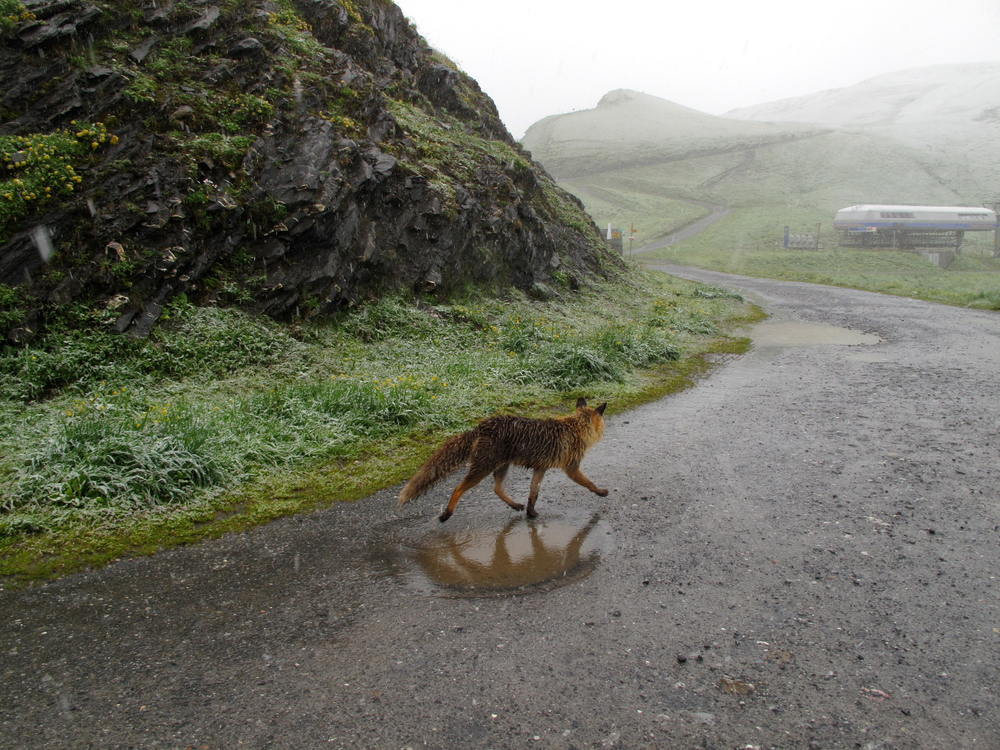A fox trotting through the Swiss Alps in the snow in summertime.