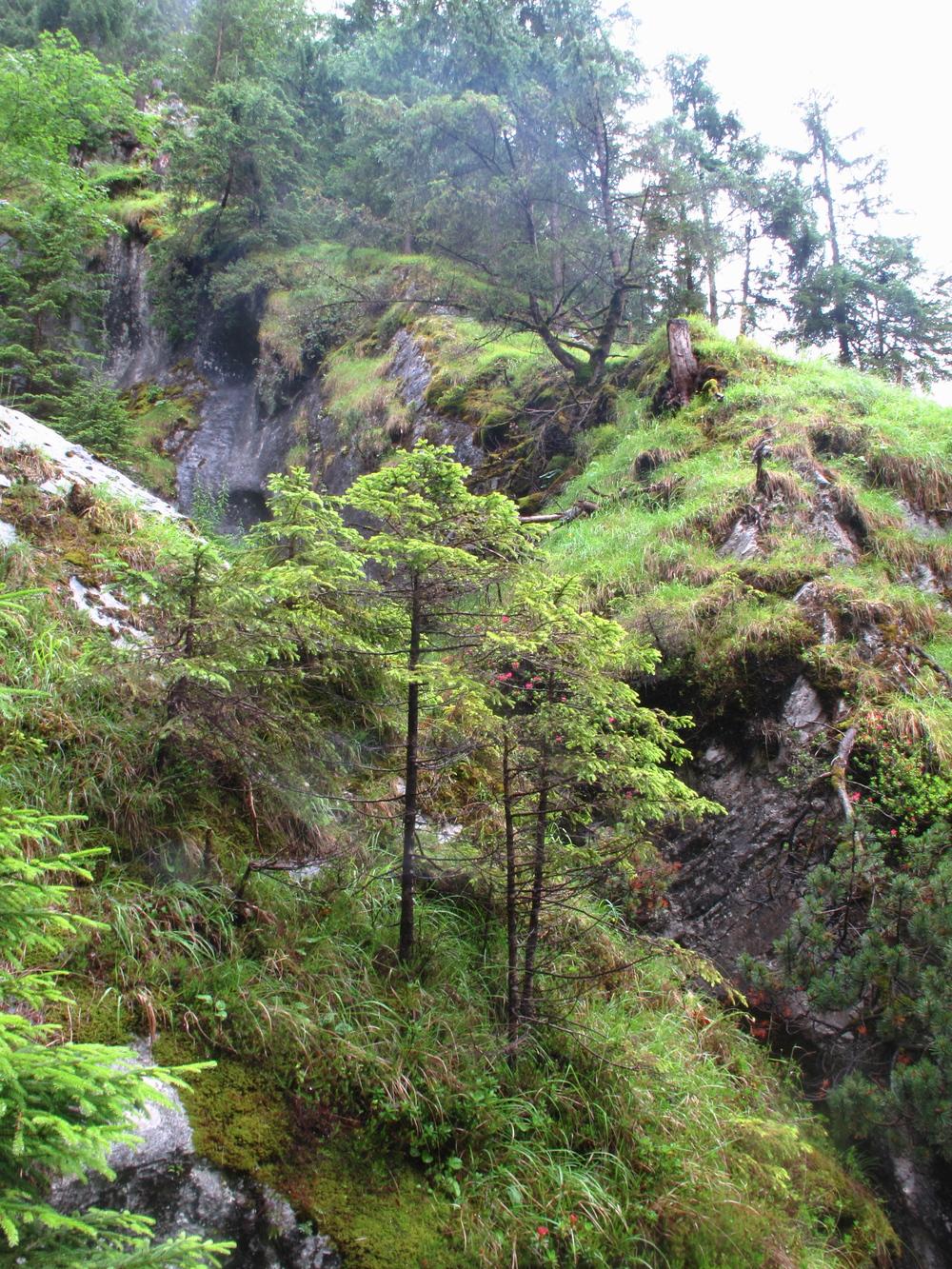 Small bonsai evergreen trees on the mountains of Lauterbrunnen valley switzerland.
