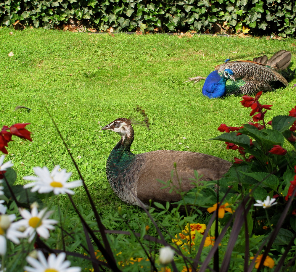 Peacocks resting in a colourful garden at Schloss Ambras Innsbruck